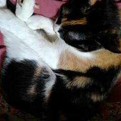 三毛猫/フォロー大歓迎 沙羅は忙しいのに 膝に乗って早速朝寝 動…