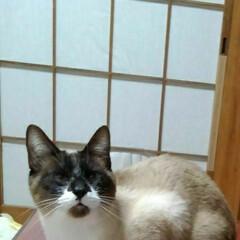シャム猫/にゃんこ日めくり/にゃんこ同好会 おはようございます 暖かいけどとても風が…