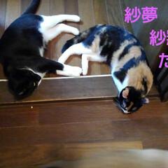 おひるね/三毛猫/白黒猫/姉弟/フォロー大歓迎/LIMIAペット同好会/... お出かけして帰ったら 二人で仲良く 寝て…(2枚目)