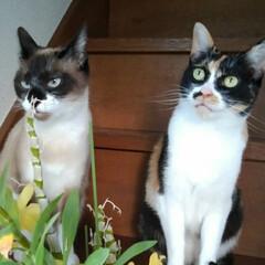 猫のいる生活/にゃんこ同好会/ねこ デンドロビウムが満開で 綺麗に咲いていた…(1枚目)