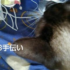 猫のいる暮らし/姉妹猫/お手伝い まだマスク仕事が忙しい母 お膝に乗るとお…