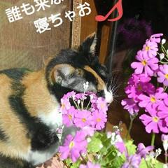 三毛猫/猫のいる生活/ねこ/にゃんこ同好会 紗羅が秘密の場所でお昼寝😻💤💤💤(3枚目)