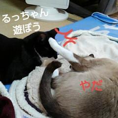 姉弟猫 昨日の午後瑠月と紗夢の取っ組み合い