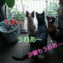 三姉弟/猫のいる生活/にゃんこ同好会/見張り隊 玄関でご機嫌のお眺め隊三匹