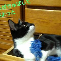 白黒猫/フォロー大歓迎 引き出しの中で 昼寝の紗夢