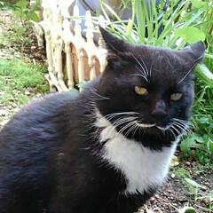 猫のいる生活/白黒猫/にゃんこ同好会/にゃんこ日めくり おはようございます🙀 サムト君がパトロー…(3枚目)