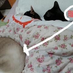 猫のいる生活/にゃんこ同好会 夜中にきついと思ったら 三にゃんずが腕枕…