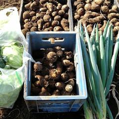 収穫/フォロー大歓迎 猪と収穫競争(昨日)  猪🐗が畑を荒らし…