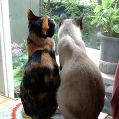 お外見張り隊/三姉弟猫/雨季ウキフォト投稿キャンペーン/フォロー大歓迎/LIMIAペット同好会/にゃんこ同好会 白いにゃんこさんがお外にいたので3にゃん…(8枚目)