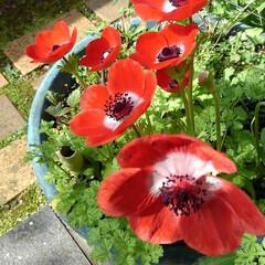 花/花のある生活/ガーデニング/花のある暮らし/ガーデン雑貨/ガーデニング雑貨/... きょうも一日お疲れ様🌸🌸🌸  玄関先に咲…(4枚目)