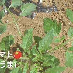 畑の野菜 今日も(3日め)紗夢たんのお父さんは 一…(7枚目)