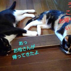 おひるね/三毛猫/白黒猫/姉弟/フォロー大歓迎/LIMIAペット同好会/... お出かけして帰ったら 二人で仲良く 寝て…