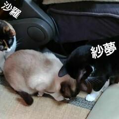 にゃんこ同好会/三姉弟猫 お遊び風景