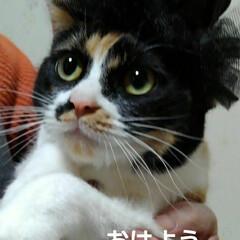 帽子/三毛猫/にゃんこ同好会/フォロー大歓迎 沙羅も帽子 被らされる(1枚目)