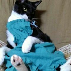 モデル/白黒猫/猫/フォロー大歓迎/LIMIA手作りし隊/LIMIAペット同好会/... おはようございます 今日も暑い一日が始ま…