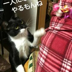 三毛猫/白黒猫/にゃんこ同好会/猫/姉弟 まゆだむのオモチャ(2枚目)