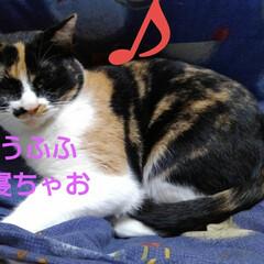 猫/三毛猫 相変わらずのお膝紗羅 なんか嬉しそうな顔…