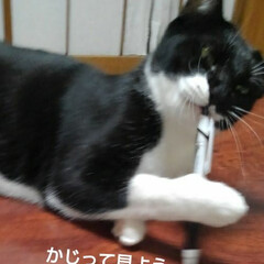 白黒猫/猫のいる生活/にゃんこ同好会/にゃんこ日めくり おはようございます 雪の朝です 予想通り…(5枚目)