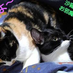 昼寝/猫/姉弟/フォロー大歓迎 おやつがすんでお昼寝 寒いので紗羅のそば…