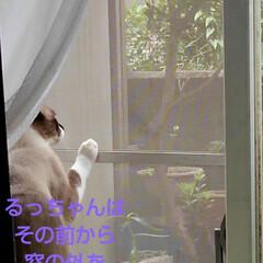 リミアペット同好会/猫/シャム/フォロー大歓迎 すれ違いに待っていた 可愛いカップルの待…(2枚目)