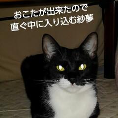 白黒猫 紗夢も作り直したおこたに 一番乗り ご機…
