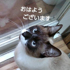 シャム猫/にゃんこ同好会/にゃんこ日めくり おはようございます  今日もいい天気で一…