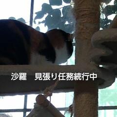 にゃんこ同好会/三毛猫/見張り隊/フォロー大歓迎/リミアの冬暮らし 沙羅の見張り隊