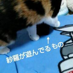 三毛猫/にゃんこ同好会 紗羅の遊んでたもの