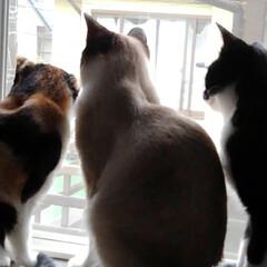 見張り隊/猫/令和元年フォト投稿キャンペーン/フォロー大歓迎/LIMIAペット同好会/にゃんこ同好会/... 夕方 いつもの場所でしっかり見張り隊のお…