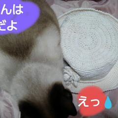 シャム猫/にゃんこ同好会/ねこ 夏用の帽子が出来たので リミアのハンドメ…(2枚目)