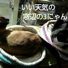 にゃんこ同好会/三姉弟猫 天気のいい日の窓辺の界隈 (こんなであっ…