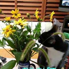 ねこのいる生活/ねこ/にゃんこ同好会/花がある暮らし お父さんが畑から にゃんずに猫じゃらしを…(3枚目)