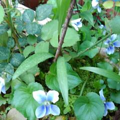 風景/花のある生活/庭のお花達 庭のお花達 すみれ、去年はなかったすずら…