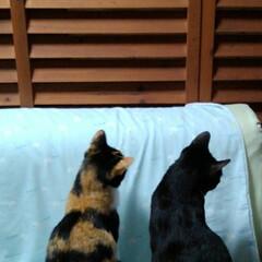 姉弟/ペット/猫/テレビ観賞/フォロー大歓迎/LIMIAペット同好会/... テレビを見ていて 鳥が後ろにいるかと見に…(1枚目)