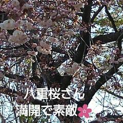 風景/八重桜 満開の八重桜さん 散る前にご紹介 うーく…