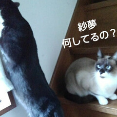 白黒猫/フォロー大歓迎/シャム いたずら紗夢