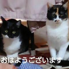 ねこのいる生活/姉弟猫/にゃんこ同好会/にゃんこ日めくり おはようございます 小雨🌂の降ってる朝で…