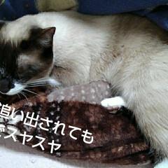 猫のいる生活 るっちゃんのお昼寝