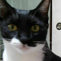白黒猫/フォロー大歓迎/LIMIAペット同好会/にゃんこ同好会/猫 おきぬけの間抜け顔の紗夢