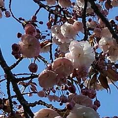風景/八重桜 満開の八重桜さん 散る前にご紹介 うーく…(6枚目)
