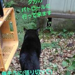 うちの子ベストショット/フォロー大歓迎/白黒猫/パトロール 紗夢遥隊員  夕方のパトロール 出発前