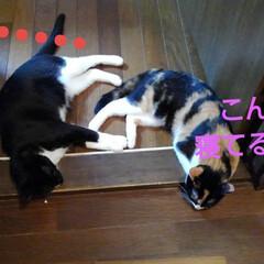 おひるね/三毛猫/白黒猫/姉弟/フォロー大歓迎/LIMIAペット同好会/... お出かけして帰ったら 二人で仲良く 寝て…(3枚目)
