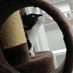 仲良し/姉弟/キャットタワー/シャム猫/白黒猫/フォロー大歓迎/... キャットタワーの トンネルの中から覗いた…(4枚目)
