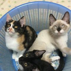 三姉弟/仲良し/猫派/フォロー大歓迎/LIMIAペット同好会/にゃんこ同好会 去年の3ヶ月のおちびのころ 洗濯かごに3…