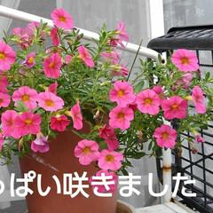 秋の花/風景 たった三本が鉢いっぱいに 咲いてました …