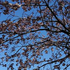 風景/八重桜 満開の八重桜さん 散る前にご紹介 うーく…(8枚目)