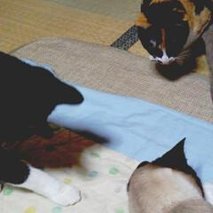 虫取/仲良し/三姉弟猫/令和元年フォト投稿キャンペーン/フォロー大歓迎/LIMIAペット同好会/... 三匹が窓から入ってきた小さい虫を追い詰め…