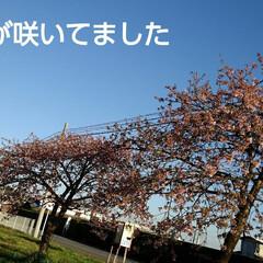 河津桜/風景/お出かけ 河津ではないけど20本位植わってる河津桜…
