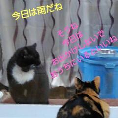 猫のいる暮らし/ねこ/にゃんこ同好会 朝の沙羅ちゃんとサムト君の会話 おしゃべ…(2枚目)