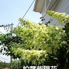 花のある生活/初夏の花 いつも、一番最後に咲く柏葉紫陽花が 今年…